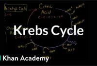 Krebs / citric acid cycle | Cellular respiration | Biology | Khan Academy
