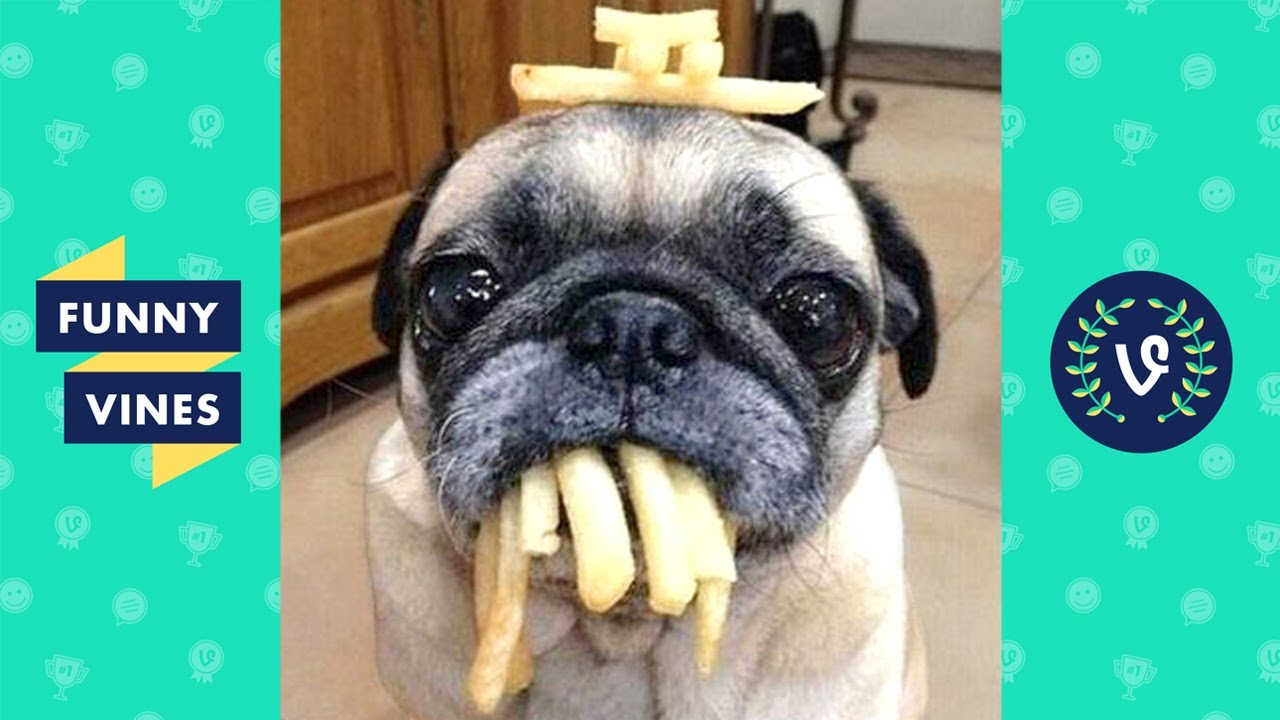 Adorable Pug Compilation - Cute Dog Videos | Funny Vines