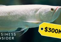 Why Dragon Fish Are So Expensive | So Expensive