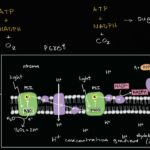 Conceptual overview of light dependent reactions