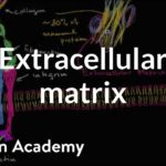 Extracellular matrix | Structure of a cell | Biology | Khan Academy