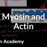 Myosin and actin | Circulatory system physiology | NCLEX-RN | Khan Academy