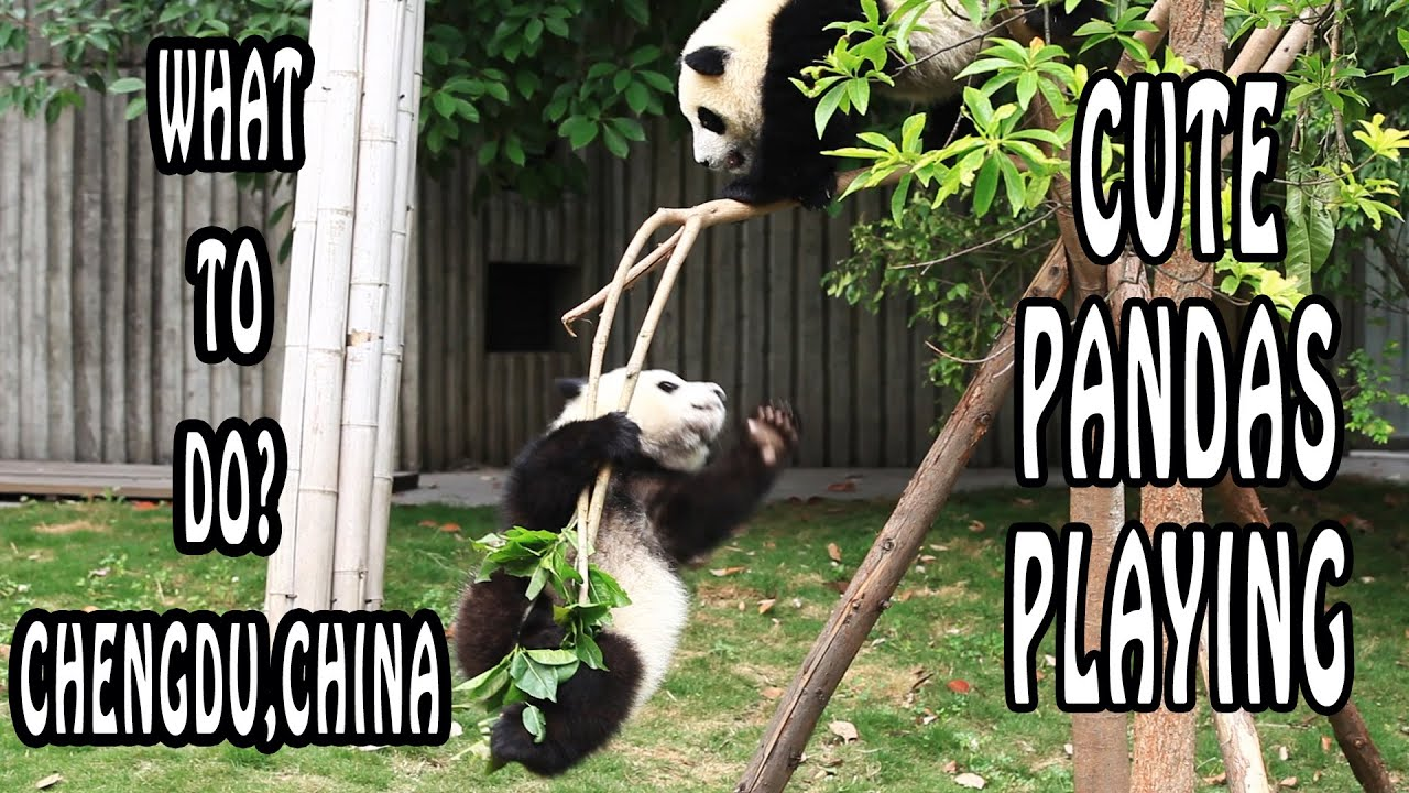 Pandas Playing at Chengdu Panda Reserve | Chengdu, What To Do?