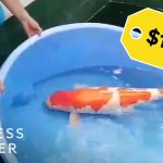 Why Koi Fish Are So Expensive | So Expensive