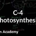 C-4 Photosynthesis